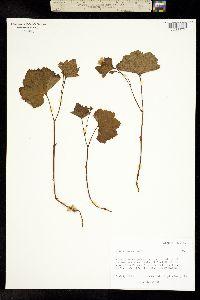 Image of Rubus chamaemorus