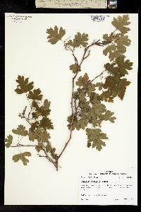 Image of Crataegus marshallii