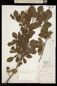 Image of Crataegus punctata