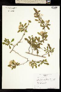 Image of Crataegus spathulata
