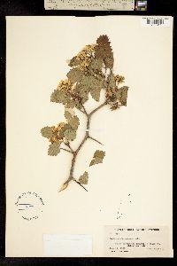 Image of Crataegus succulenta