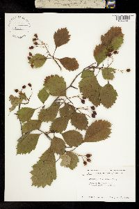 Image of Crataegus laurentiana
