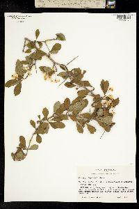 Image of Crataegus engelmannii
