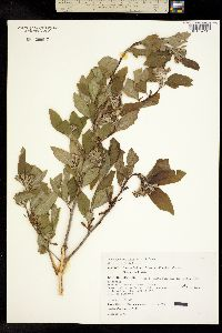 Image of Crataegus mexicana