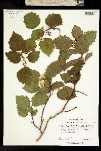 Image of Crataegus pennsylvanica