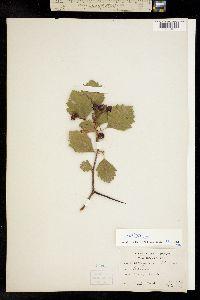 Image of Crataegus sheridana
