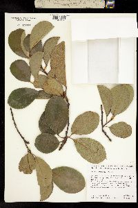 Image of Chaenomeles sinensis