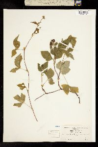 Rubus pubescens var. pubescens image