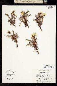Image of Dryas alaskensis
