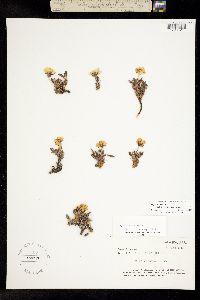 Image of Dryas ajanensis