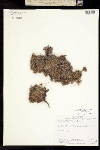 Image of Dryas integrifolia