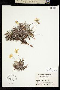 Image of Dryas crenulata