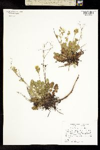 Image of Horkelia parryi