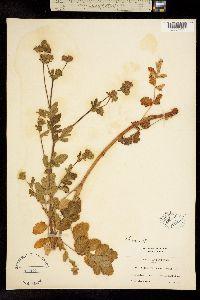 Image of Horkelia frondosa
