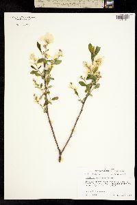 Image of Amelanchier racemosa