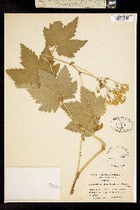 Filipendula occidentalis image