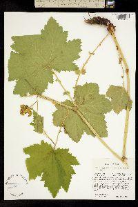 Image of Filipendula occidentalis