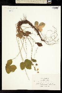 Image of Fragaria californica