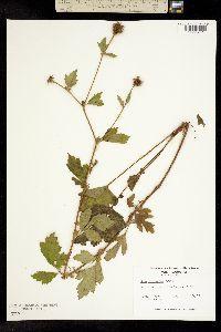 Image of Geum laciniatum