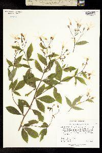 Image of Gillenia trifoliata