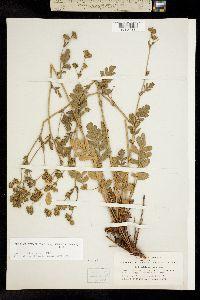 Image of Horkelia cuneata