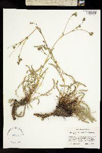 Image of Horkeliella purpurascens