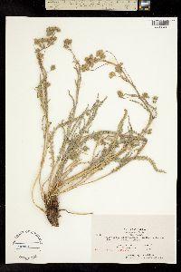 Image of Ivesia sericoleuca