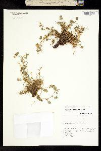 Image of Ivesia saxosa