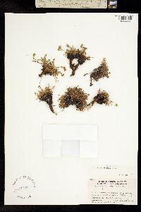 Image of Ivesia pygmaea