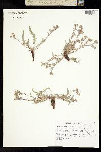 Image of Ivesia pityocharis
