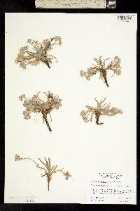 Ivesia argyrocoma image