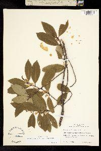 Image of Prunus caroliniana