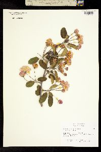 Image of Malus ioensis