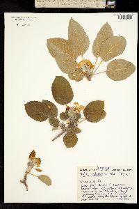 Image of Malus sylvestris
