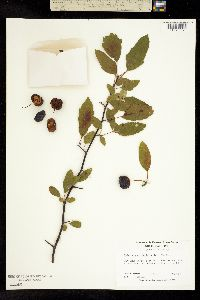 Image of Malus angustifolia