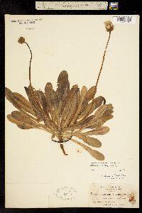 Agoseris apargioides image