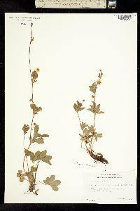 Image of Potentilla canadensis