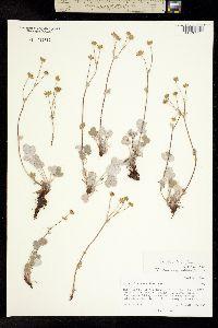 Image of Potentilla crebridens