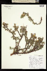 Pentaphylloides fruticosa image