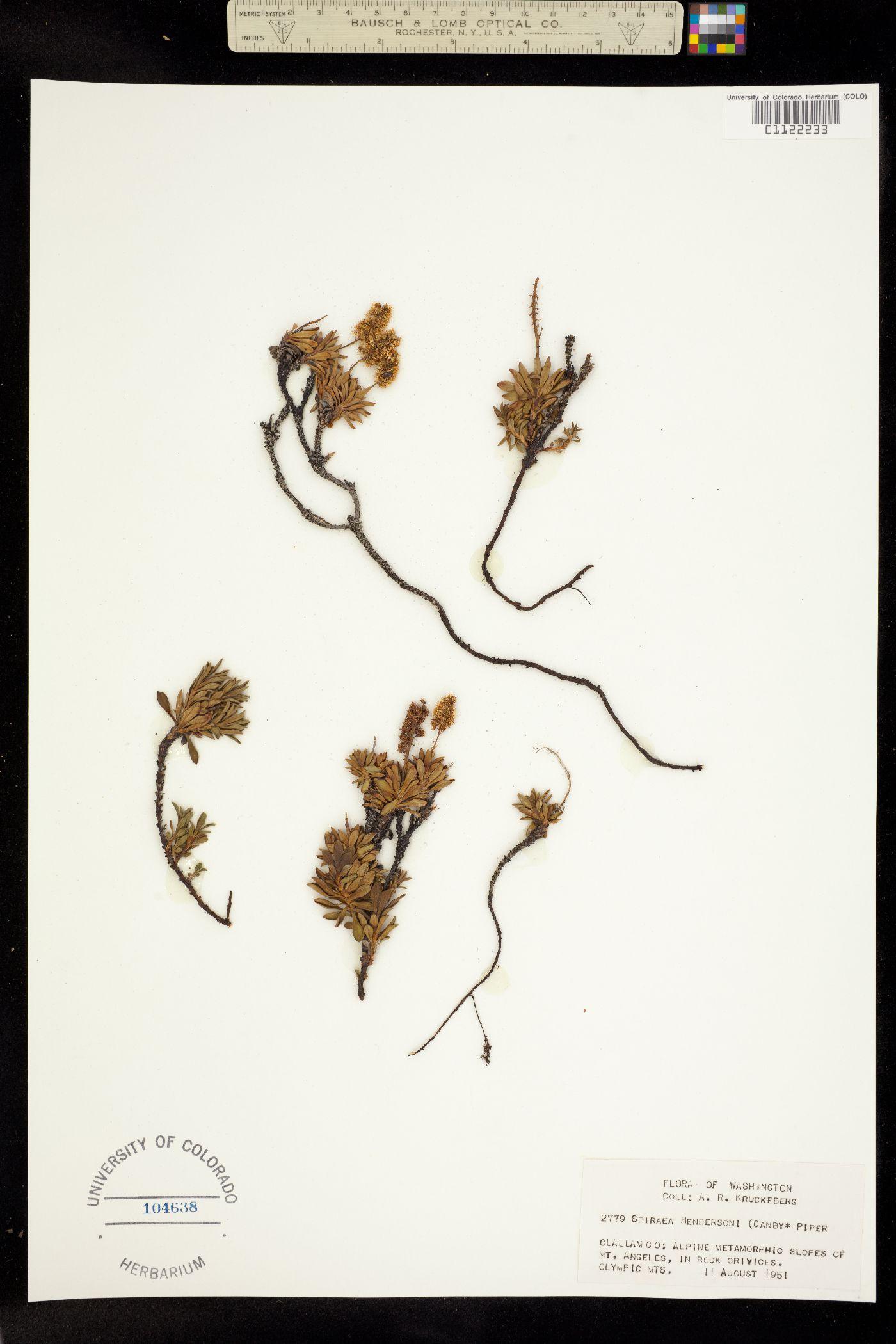 Petrophytum hendersonii image