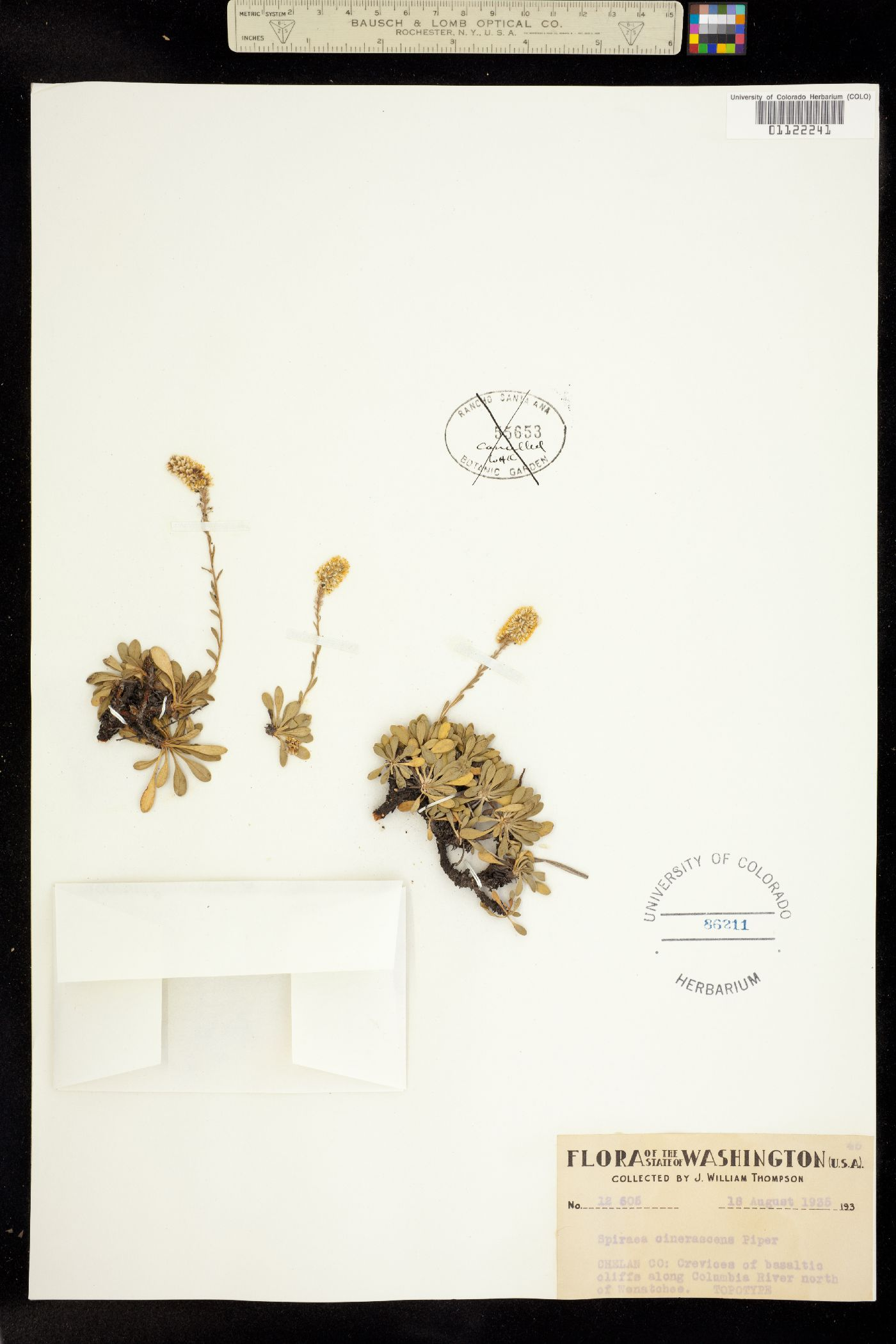 Petrophytum cinerascens image