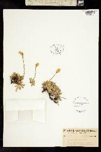 Image of Petrophyton cinerascens