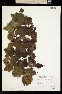 Image of Physocarpus capitatus