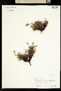 Potentilla biflora image