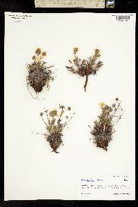 Image of Potentilla biflora