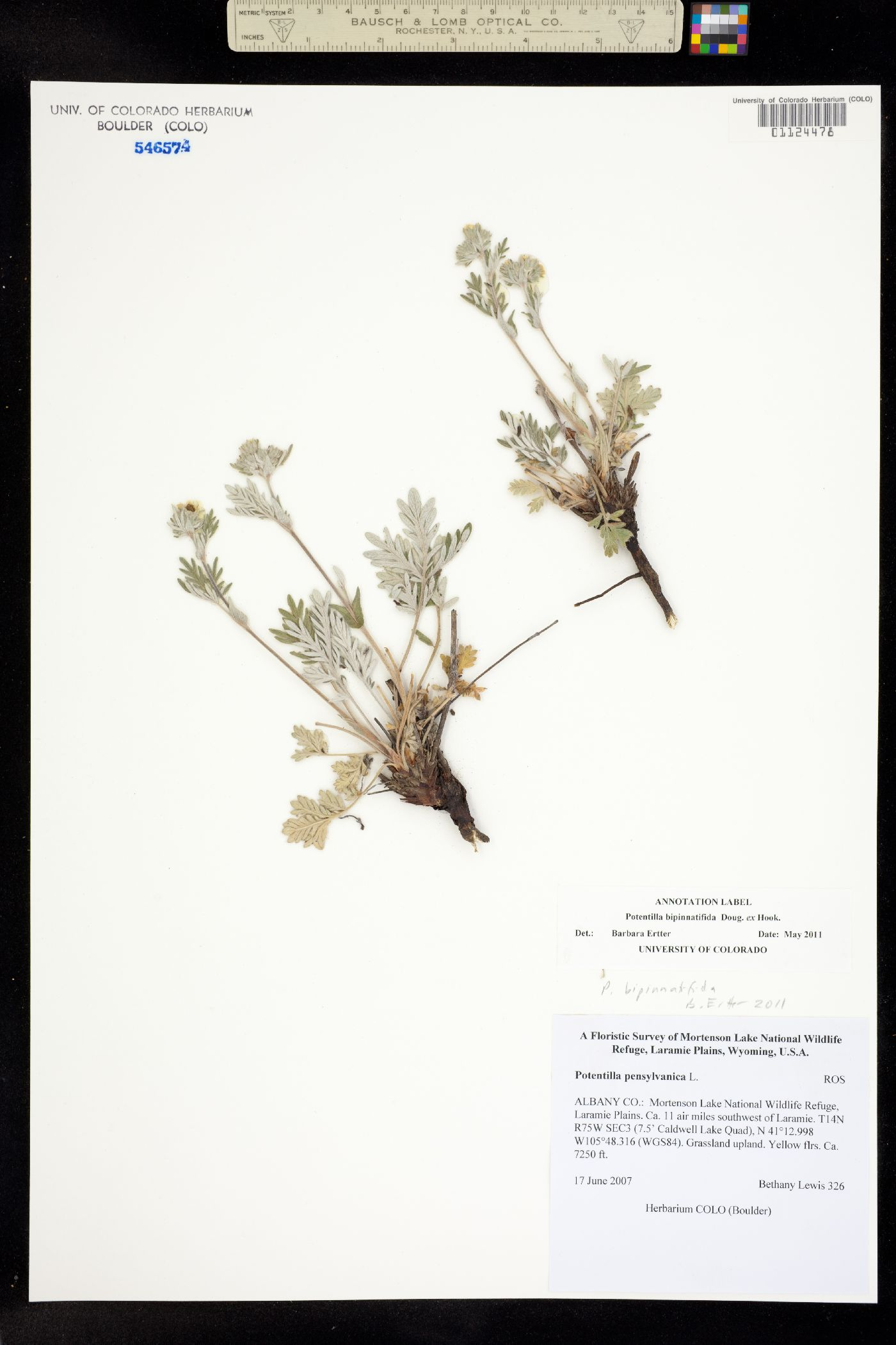 Potentilla bipinnatifida image