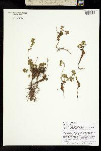 Potentilla brevifolia image