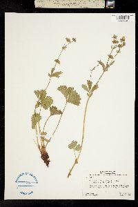 Image of Potentilla flabellifolia