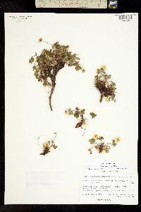 Potentilla hyparctica image