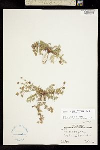Image of Potentilla millefolia